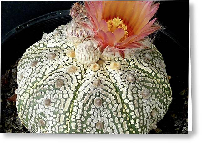 Cactus Flower 4 Greeting Card