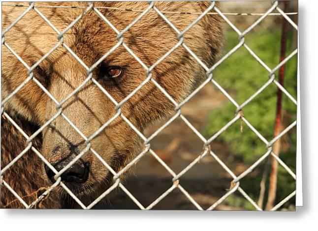 Caged Bear Greeting Card