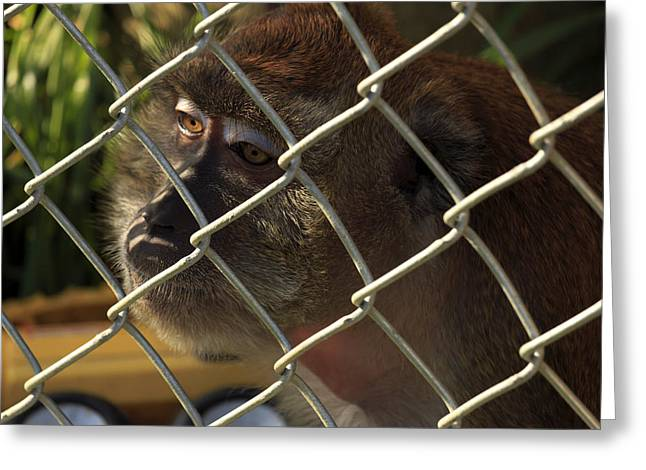 Caged Monkey Greeting Card