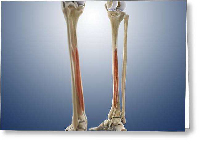 Calf Muscle, Artwork Greeting Card by Springer Medizin