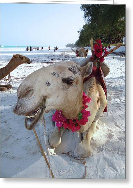 Camel On Beach Kenya Wedding3 Greeting Card