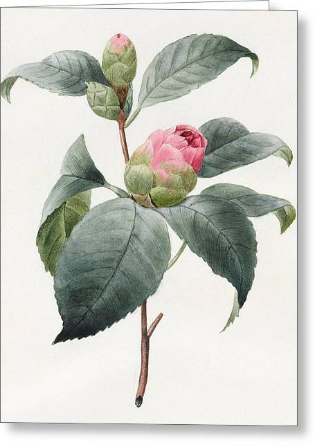 Camellia Greeting Card by Louise D'Orleans