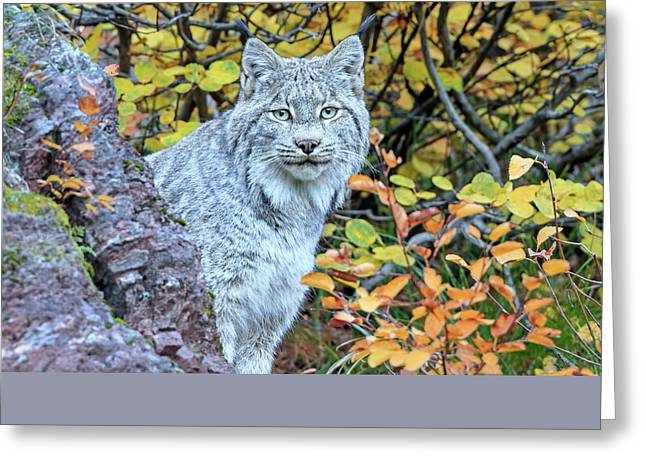 Canada Lynx Greeting Card by Jack Bell
