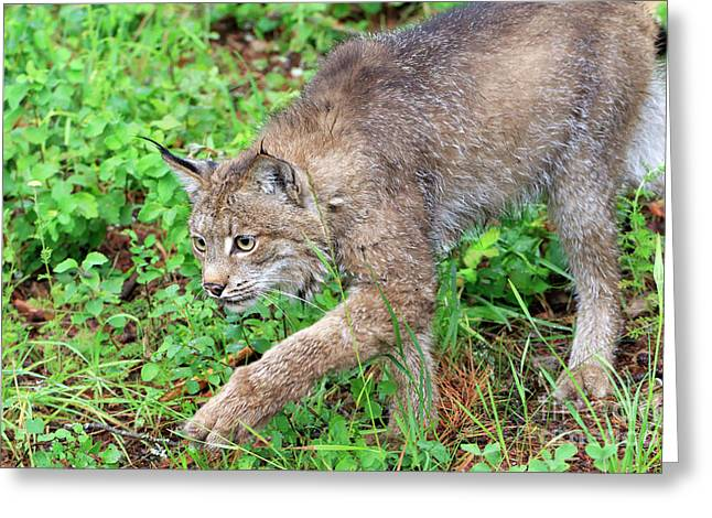Canada Lynx Lynx Canadensis Greeting Card by Louise Heusinkveld