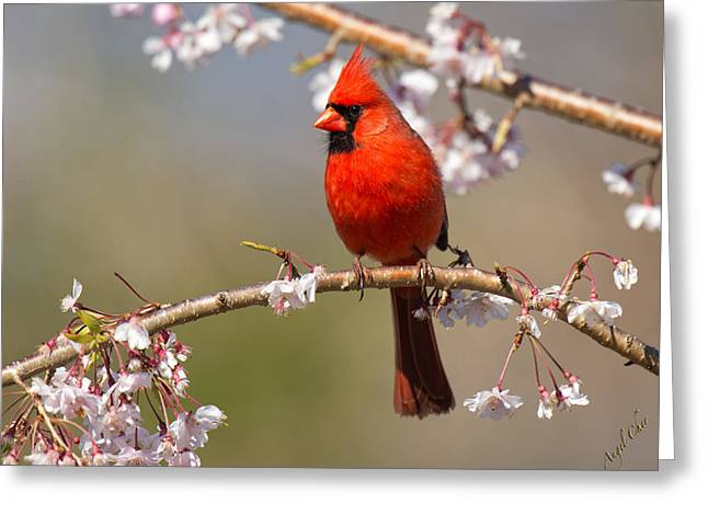 Greeting Card featuring the photograph Cardinal In Cherry by Angel Cher