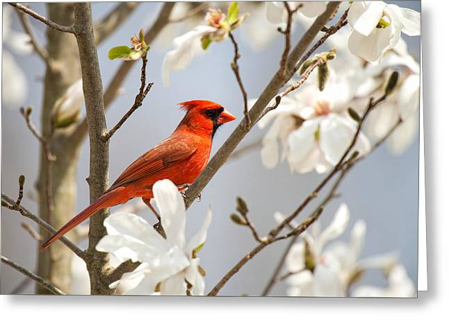 Greeting Card featuring the photograph Cardinal In Magnolia by Angel Cher