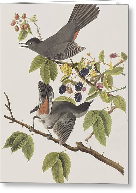 Cat Bird Greeting Card by John James Audubon