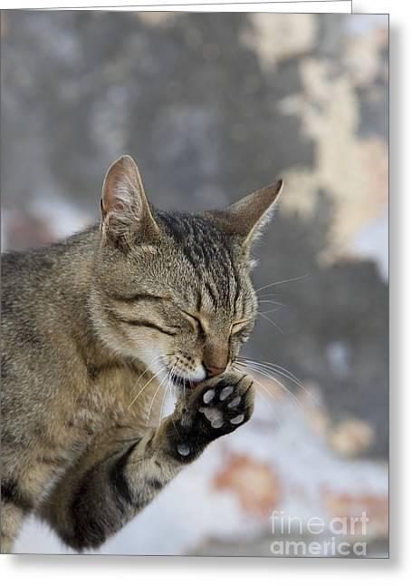 Cat Grooming In Greece Greeting Card by Jean-Louis Klein & Marie-Luce Hubert