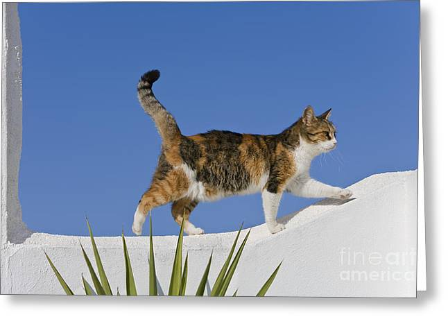 Cat On A Wall, Greece Greeting Card