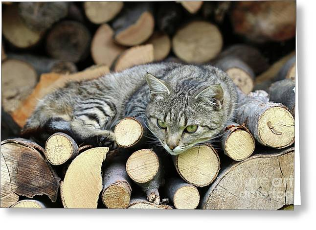 Greeting Card featuring the photograph Cat Resting On A Heap Of Logs by Michal Boubin