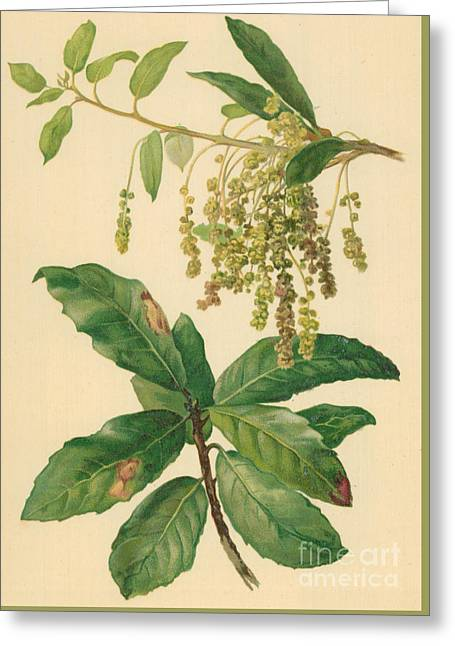 Catkins And Leaves Of Holm Oak Greeting Card