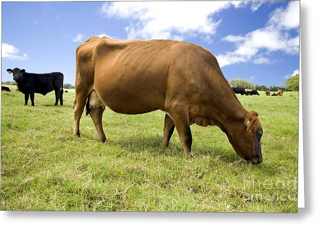 Cattle Grazing Greeting Card by Inga Spence