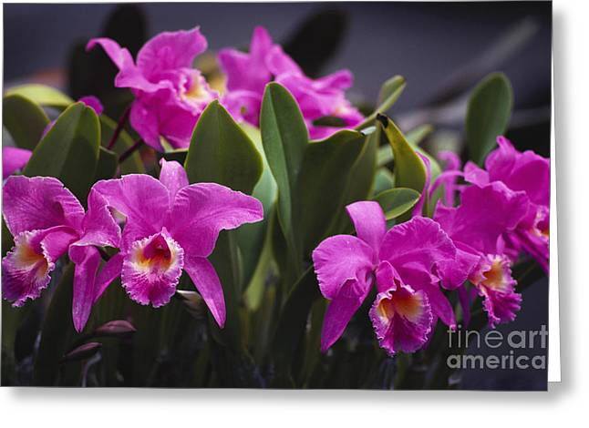 Cattleya Orchids Greeting Card by Allan Seiden - Printscapes