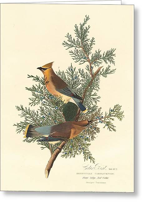 Cedar Bird Greeting Card