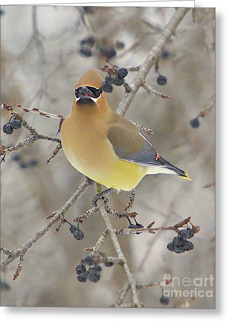 Cedar Wax Wing Greeting Card by Robert Pearson