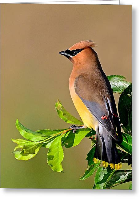 Cedar Waxwing Greeting Card by Rodney Campbell