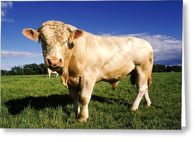Charolais Bull, Ireland Greeting Card by The Irish Image Collection