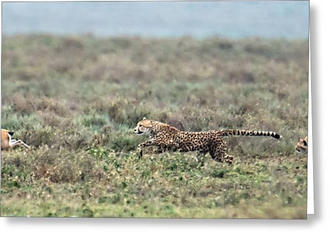 Gazelle Greeting Cards - Cheetah Acinonyx Jubatus Hunting Greeting Card by Panoramic Images