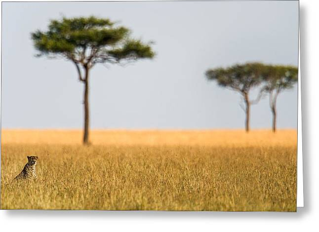 Cheetah Acinonyx Jubatus In A Field Greeting Card