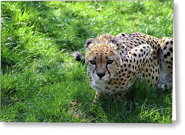 Cheetah Eyes Greeting Card
