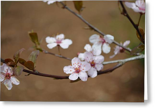 Greeting Card featuring the photograph Cherry Blossoms by Linda Geiger