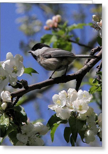 Chickadee Among The Blossoms Greeting Card by Doris Potter