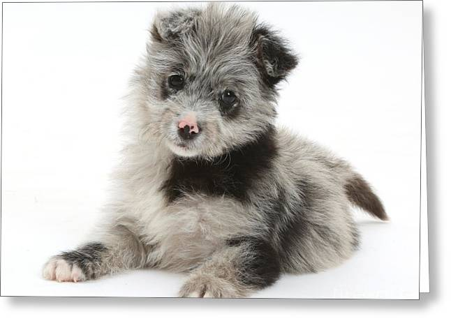Chipoo Puppy Greeting Card by Mark Taylor