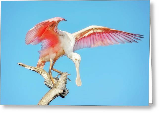 Spoonbill Cleared For Takeoff Greeting Card