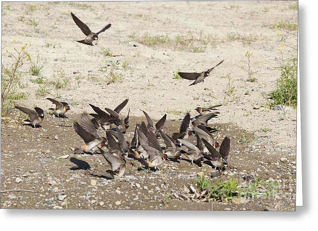 Cliff Swallows Gather Mud Greeting Card