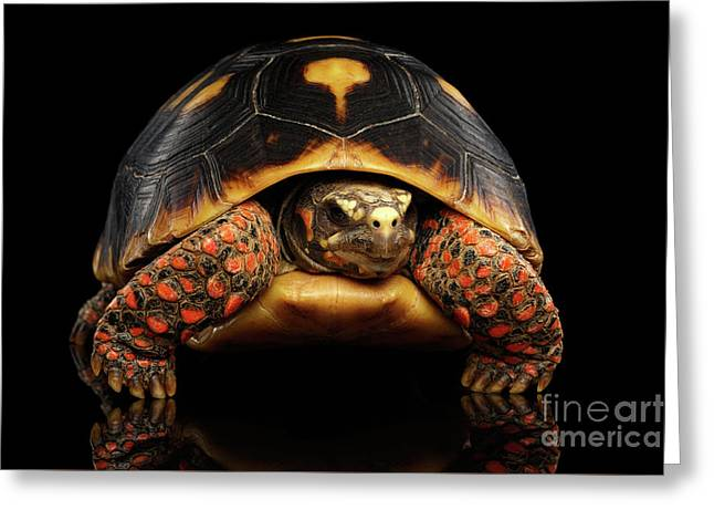 Close-up Of Red-footed Tortoises, Chelonoidis Carbonaria, Isolated Black Background Greeting Card by Sergey Taran