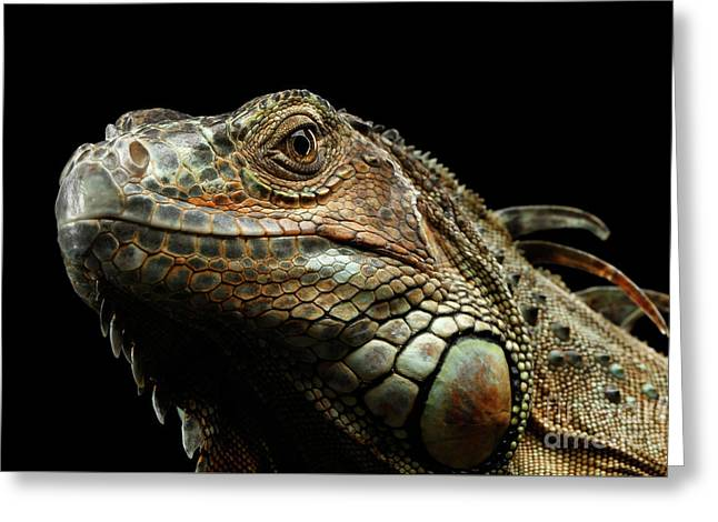 Closeup Green Iguana Isolated On Black Background Greeting Card by Sergey Taran