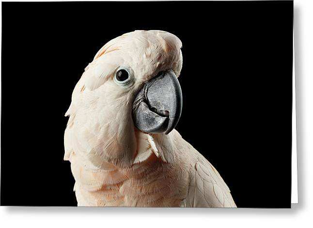 Closeup Head Of Beautiful Moluccan Cockatoo, Pink Salmon-crested Parrot Isolated On Black Background Greeting Card