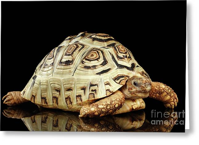 Closeup Leopard Tortoise Albino,stigmochelys Pardalis Turtle With White Shell On Isolated Black Back Greeting Card