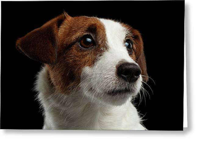 Closeup Portrait Of Jack Russell Terrier Dog On Black Greeting Card by Sergey Taran