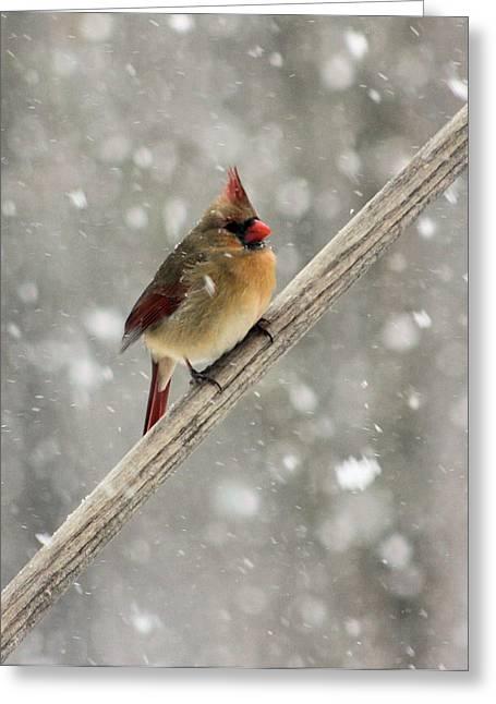Cold Cardinal Greeting Card by Kristin Elmquist