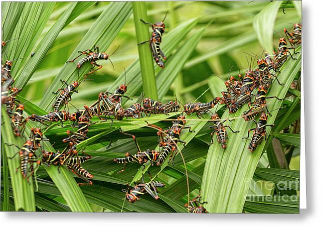 Collared Lubber Grasshoppers Greeting Card by Patricia Hofmeester