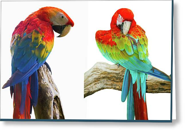 Colorful Parrot Isolated In White Background Greeting Card