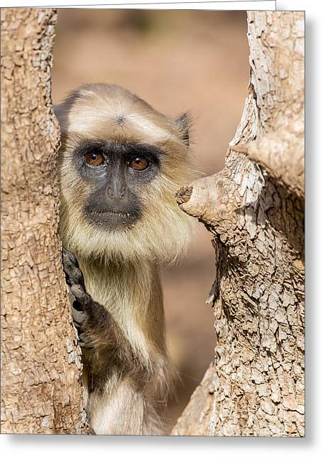 Common Indian Langur Greeting Card by B. G. Thomson