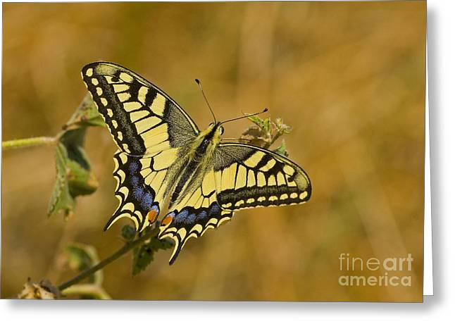 Common Swallowtail Greeting Card by Steen Drozd Lund