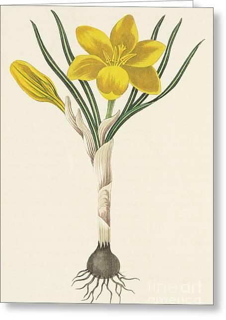 Common Yellow Crocus Greeting Card