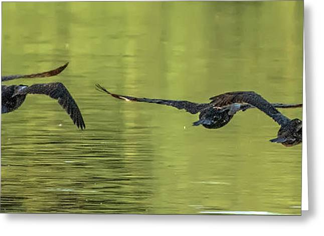 Cormorants Greeting Card by Tam Ryan
