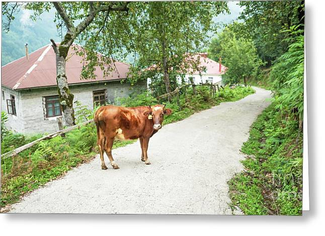 Cow Greeting Card by Svetlana Sewell