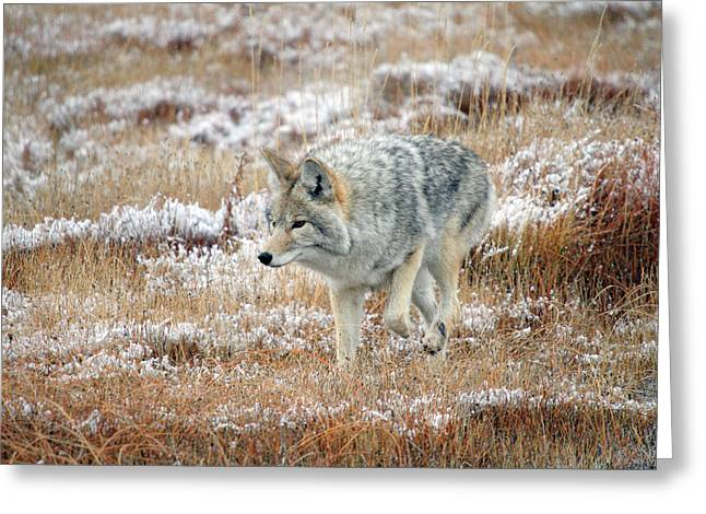 Coyote  In Yellowstone National Park Greeting Card by Pierre Leclerc Photography
