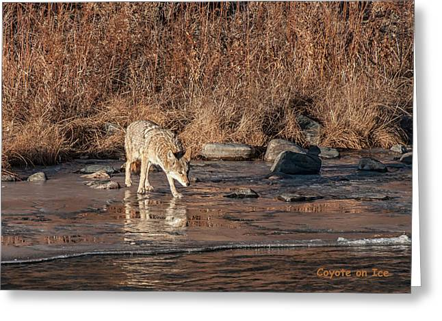 Greeting Card featuring the photograph Coyote On Ice by Britt Runyon