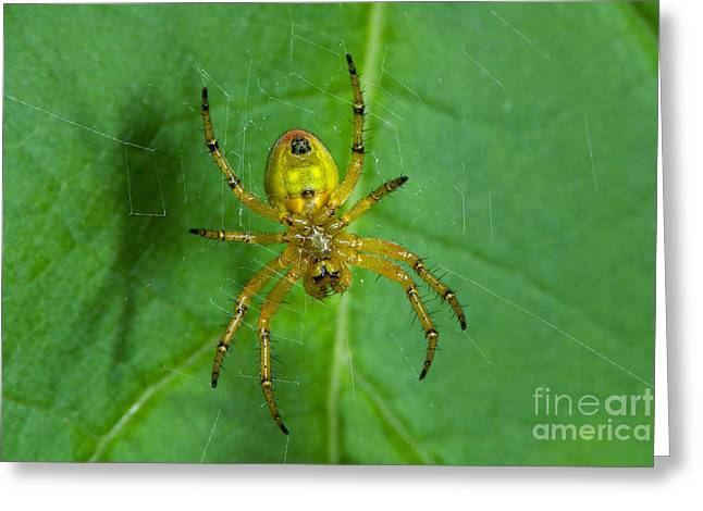 Cucumber Green Spider Greeting Card by Steen Drozd Lund