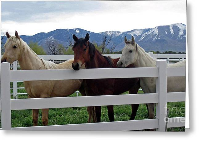 Greeting Card featuring the photograph Curious Yearlings by Juls Adams