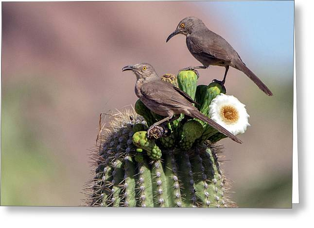 Curve-billed Thrashers Greeting Card by Tam Ryan