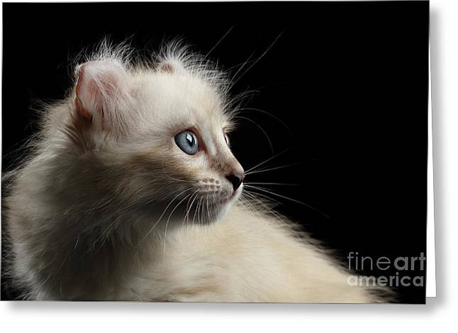 Cute American Curl Kitten With Twisted Ears Isolated Black Background Greeting Card by Sergey Taran