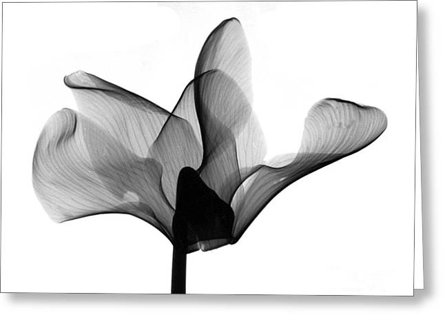 Cyclamen Flower X-ray Greeting Card