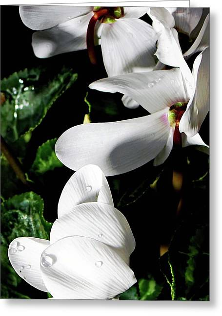Easter Flowers Drawings Greeting Cards - Cyclamen Greeting Card by Mindy Newman